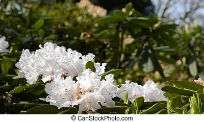 Close up of white rhododendron flower trembling on the wind