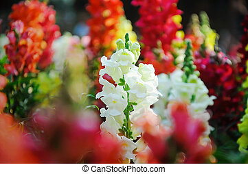 Close up of white snapdragon in the garden