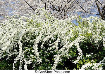 white spiraea flowers - close up of white spiraea flowers