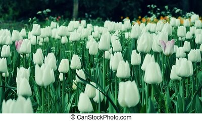 Close up of White tulips in a field. The camera moves back on the slider. Color correction.