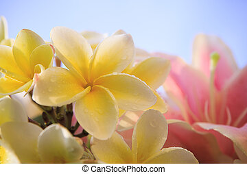 close up of white yellow frangipani flower petal with pink lilly background against light blue sky behind for beuatiful background backdrop