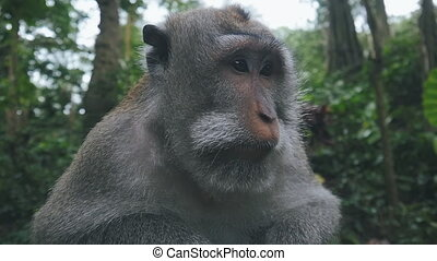 Close up of wild rhesus monkey in natural setting in slow...