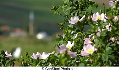 Close up of wild rose bush, Iran