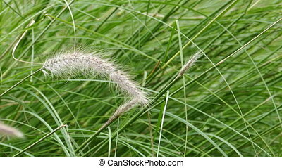 Windy flower grass with slight movement - Close up of Windy...