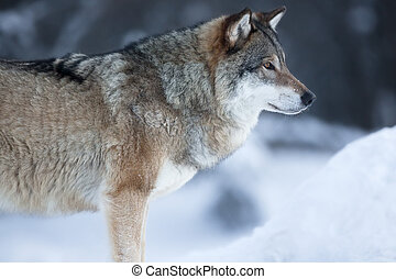 Close up of wolf standing in the snow