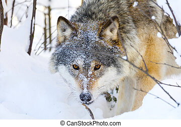 Close-up of wolf with wild eyes in winter forest