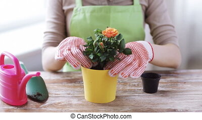 close up of woman hands planting roses in pot