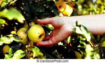 Close up of woman picking a ripe apple from apple tree