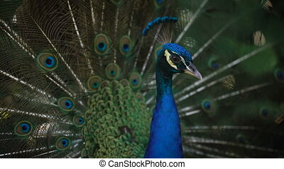 Close up of wonderful peacock with his bright plumage, neck and train. Image of wild indian peafowl with fantastic colours of his feathering and spreading tail.