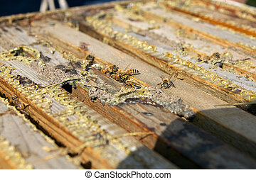 Close up of worker bees in wooden bee farming box