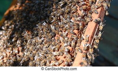 Close up of worker bees working on honeycomb, with bee queen in the foreground, beekeeping, bee panel. High quality 4k footage