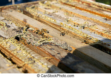 Close up of worker honey bees in bee-keeping box