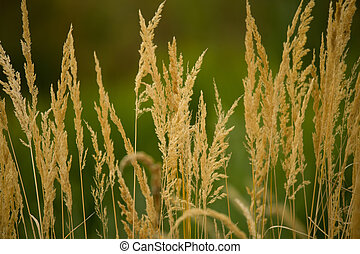Close-up of yellow autumn grass after dry summer