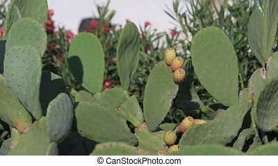 Close up of yellow Beaver Tail cactus blossom in the...