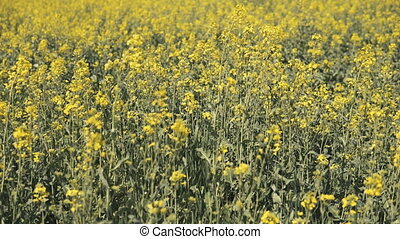 Close up of yellow canola in the field - Camera slide next...
