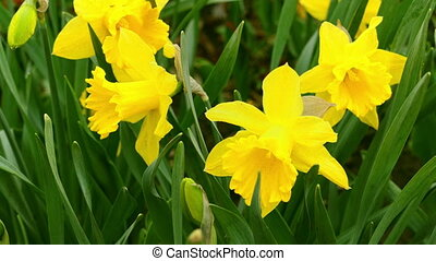 Close up of yellow daffodils (narcissus) flowering in spring...