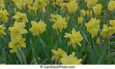 Close up of yellow daffodils narcissus flowering in spring...