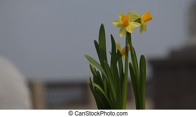 Close-up of yellow daffodils swaying in the wind on a blurred background of the city square. Spring season.
