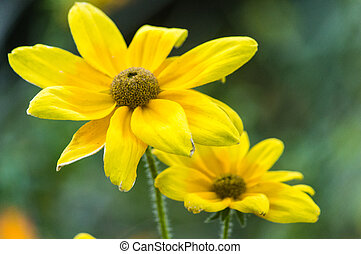 Close-up of Yellow Gerbera Daisies