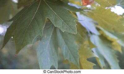 Close-up of yellow-green maple leaves on a branch in the rays of soft sunlight. Maple leaves are slightly aged, yellowed.