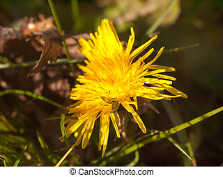 close up of yellow long petaled dandelion on the ground bright