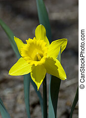 narcissus - Close up of yellow narcissus on gray background
