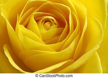yellow rose - close up of yellow rose