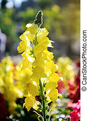 Close up of yellow snapdragon in the garden
