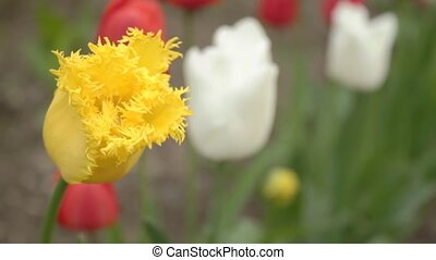 Close-up of yellow tulip with ragge
