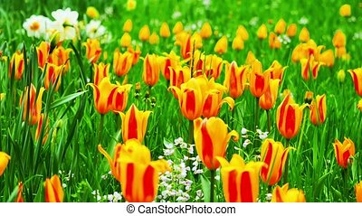 Close up of Yellow tulips in a field. The camera moves back on the slider. Color correction.