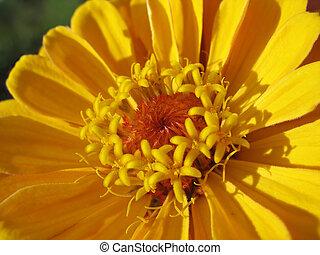 Close up of yellow zinnia stamens
