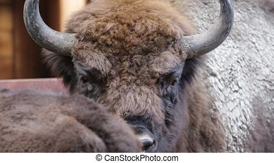 Close up of young big bison, Poland