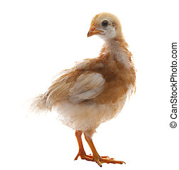 close up of young chicken with brown feather plumage isolated white background use for livestock farm animals and lovely pets and multipurpose