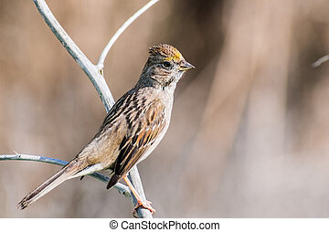 Close up of young Golden-crowned sparrow (Zonotrichia atricapilla), California; they are migrating all throughout the west coast during winter and vanish for the summer into Canada and Alaska
