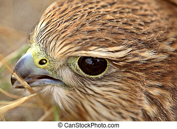 Close up of young Merlin in scenic Saskatchewan
