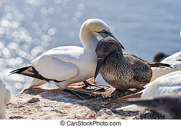Close-up of young Northern gannet chick, cuddled with its mother. Island Helgoland, Germany