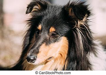 Young Shetland Sheepdog, Sheltie, Collie dog.