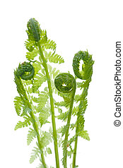Close up of young wild fern in spring, isolated on white