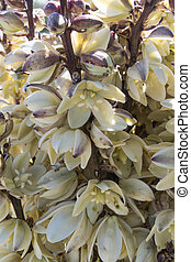 Close Up of Yucca Blooms