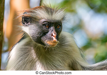 Zanzibar red colobus or Procolobus kirkii - Close-up of ...