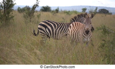 Close up of zebra couple in grassland of african savanna. animal natural habitat