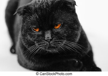 Close-up offended serious black Cat with Yellow Eyes in Dark. Face black Scottish fold cat with Golden eyes. Portrait of the cat