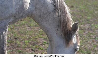 Close up on a beautiful white horse is walking in the corral...