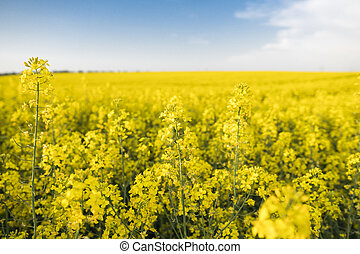 Close up on a flowers of rape plant on endless rapeseed field. Yellow rapeseeds fields and blue sky with clouds in sunny weather. Agriculture.