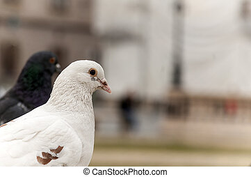 Close-up on a pigeon