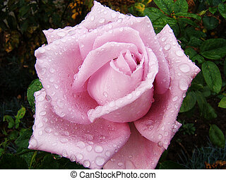 Close-up on a pink rose