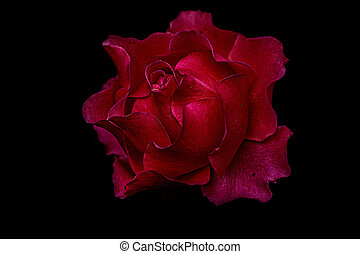 Close-up on a red rose