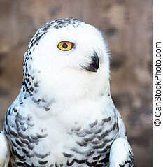 Close-up on a Snowy Owl - Close-up on the head of a Snowy ...