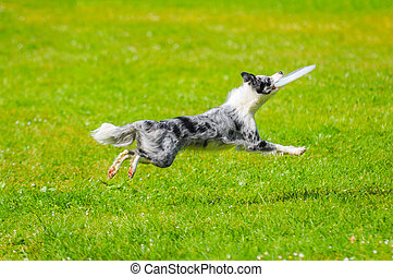 close up on Border collie jumping with toy