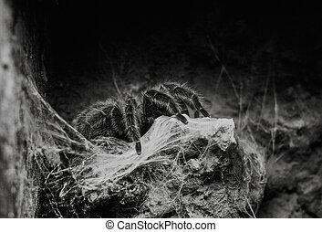 close up on Chilean rose tarantula Grammostola Rosea